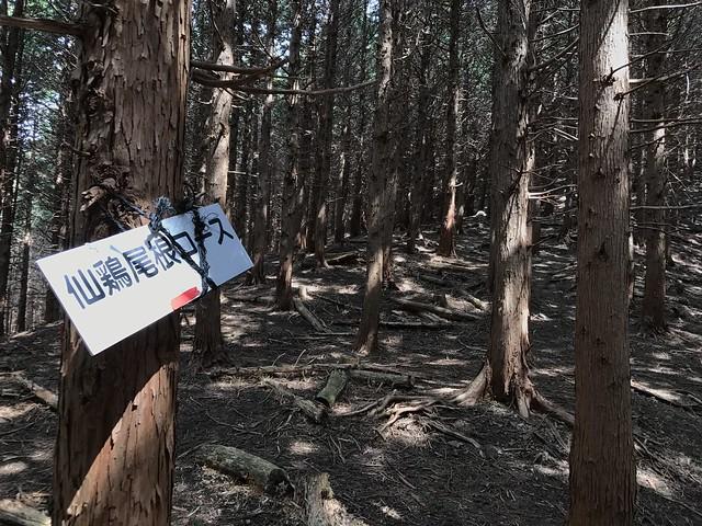 野登山 ミツマタの森 ルート 仙鶏尾根合流