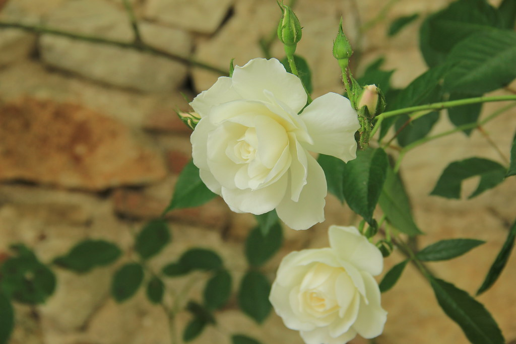 White rose, Cathedral Gardens