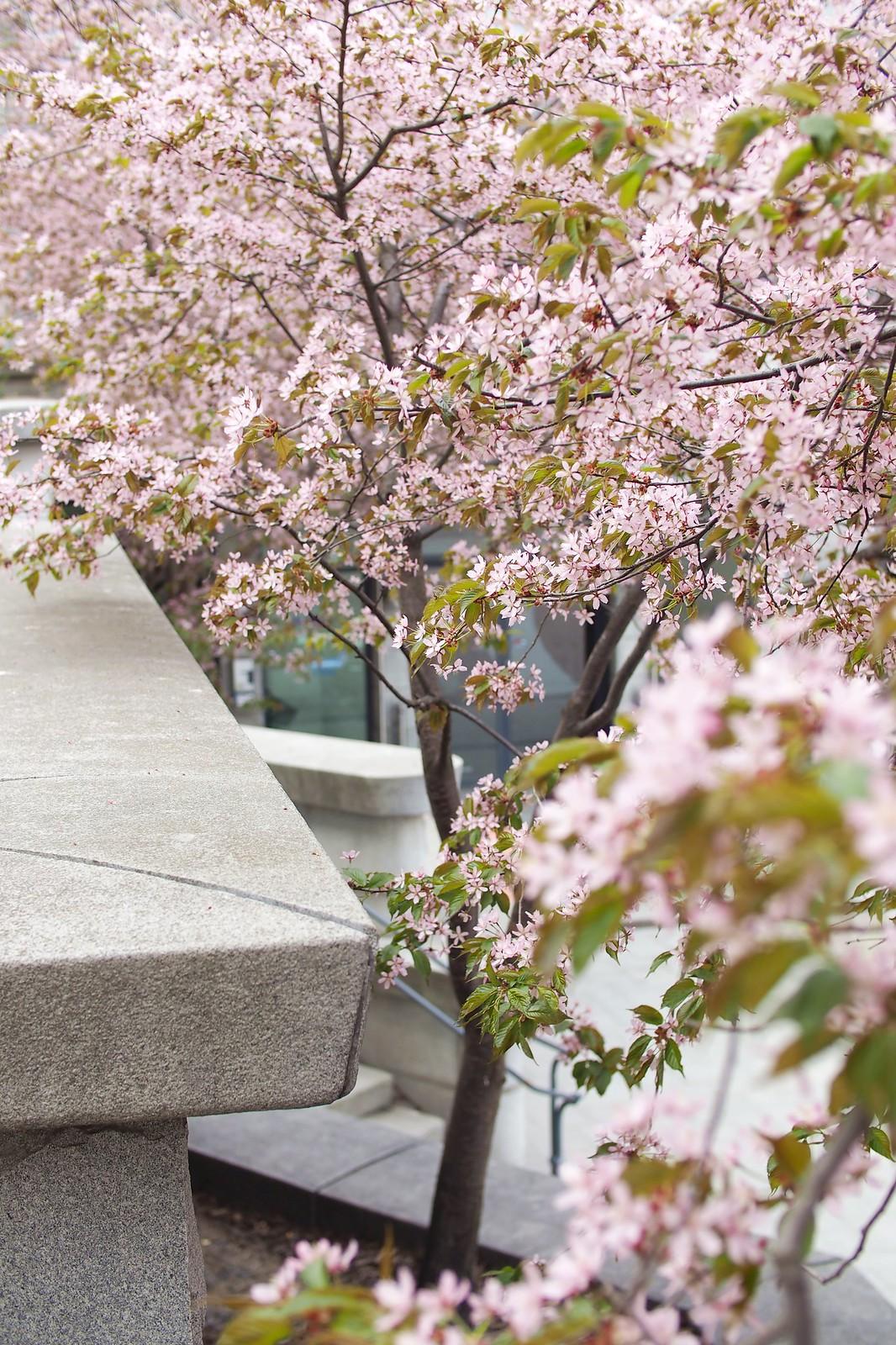 Cherry blossom (5)