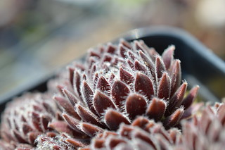 DSC_5731 Sempervivum 'Allison'