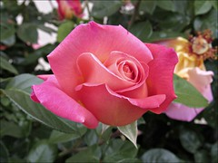 Pink and apricot rose