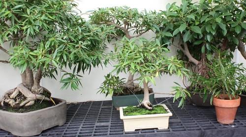 several_bonsai