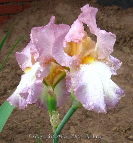 pink_iris