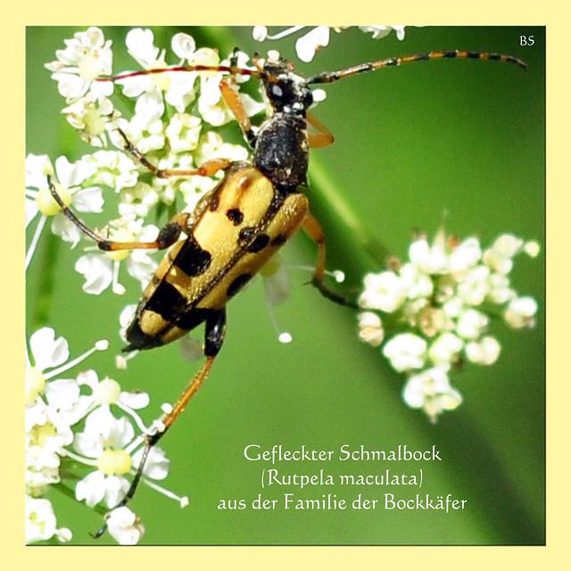 """Naturfotografie: Gefleckten Schmalbock"""" (Rutpela maculata) ... Foto: Brigitte Stolle, Mannheim"""