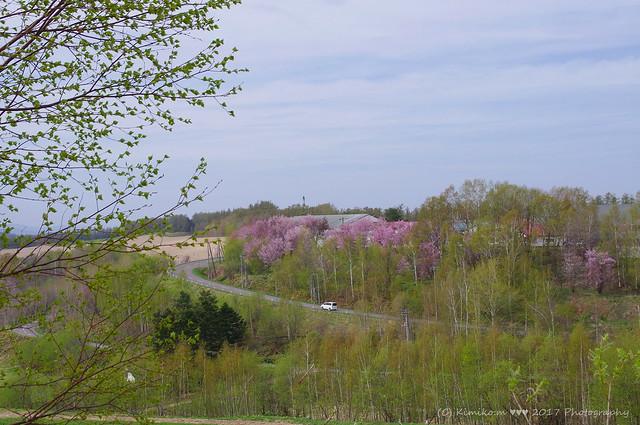 サクラ咲く丘風景④