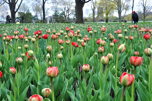 Tulips at Dow's Lake