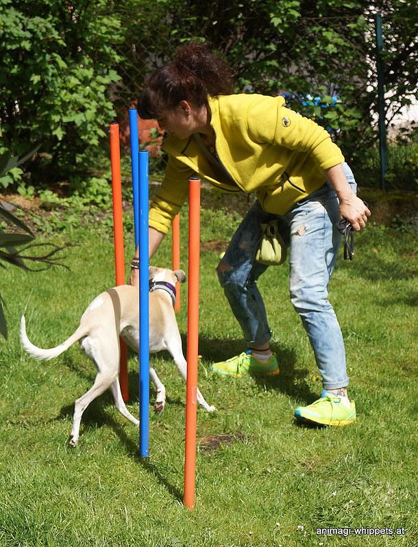 Channi sieht einfach nur das Leckerli und merkt dabei gar nicht wie toll sie mit Conny den Slalom macht!
