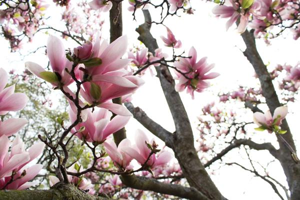 magnolias highland park
