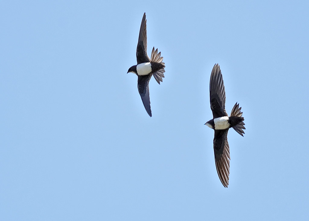 Alpine Swift   Tachymarptis melba