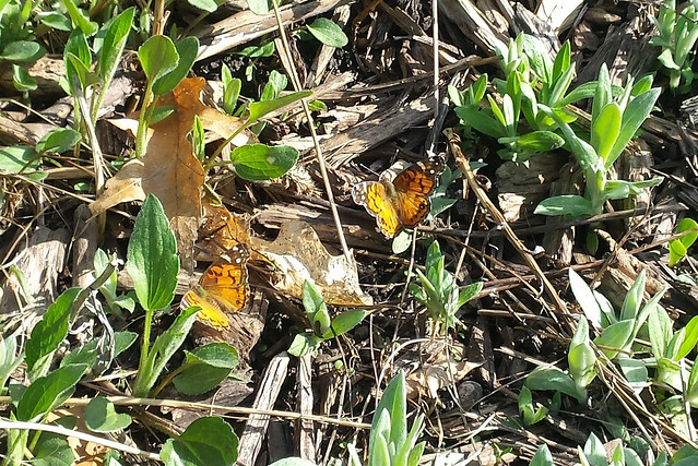 two of those butterflies close together among seedlings