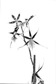 Charles Hirschel - Orchidées