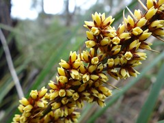 Lomandra longifolia - Spiny-headed Mat-rush