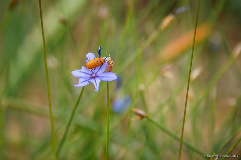 Exosoma lusitanicum sobre una florecilla