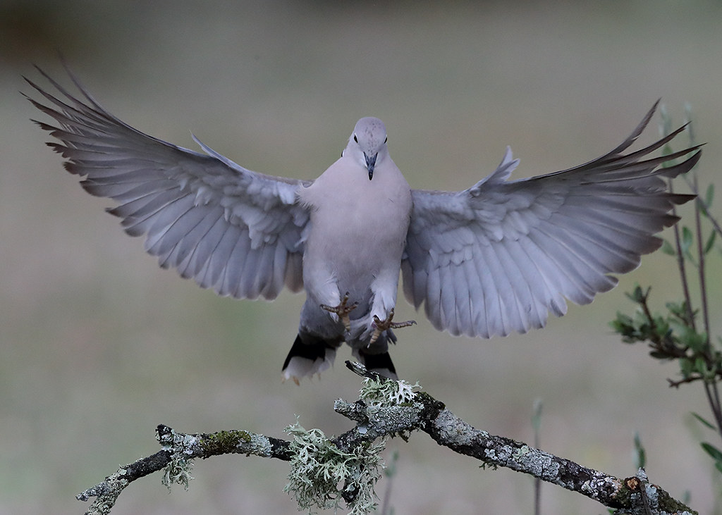 Collard Dove       Streptopelia decaocto
