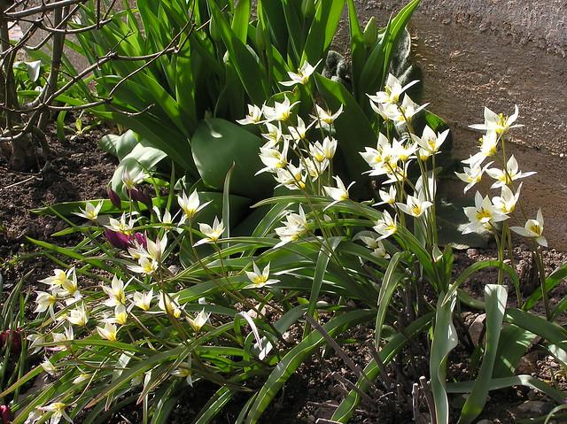 Tulipa biflora & Tulipa turkestanica