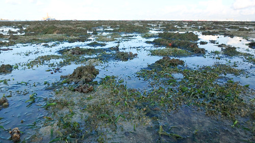 Seagrass meadows at Terumbu Pempang Laut, May 2017