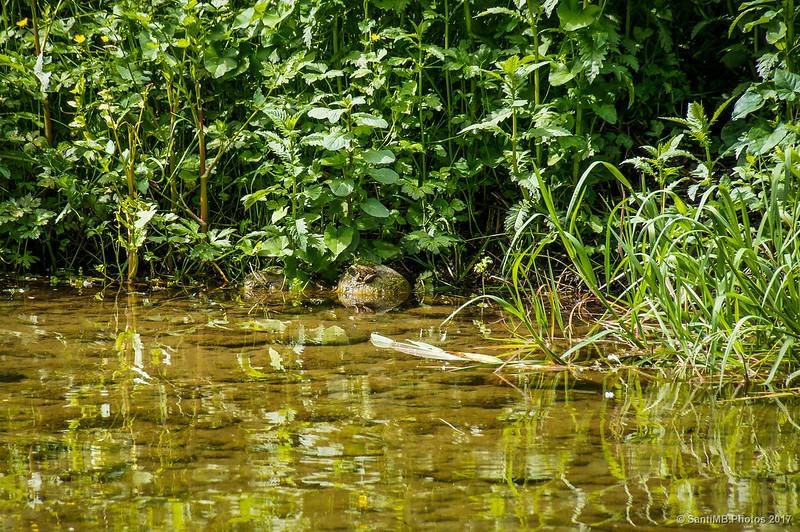 Una rana en la poza de Can Poeti
