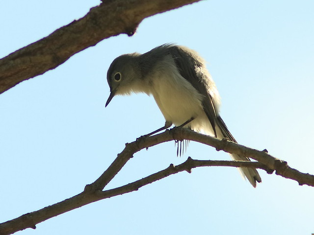 Blue-gray Gnatcatcher 20170512