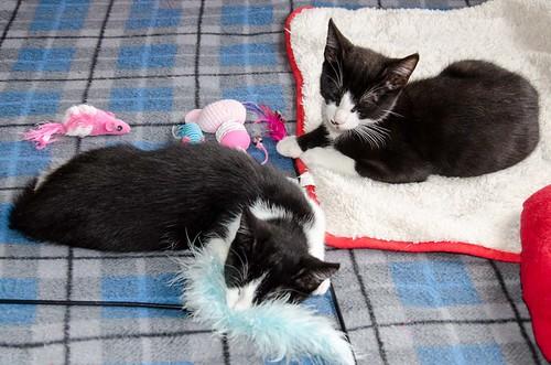 Cloud, gatito blanquinegro megadulce y guapo esterilizado, nacido en Enero´17, en adopción. Valencia. ADOPTADO. 34672264906_c0db2da002