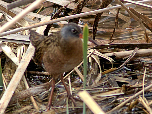 Virginia Rail eBird doc 20170502