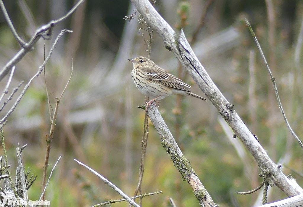 P1070586 - Tree Pipit, Llandegla Forest