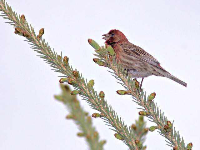 House Finch 05-20170503
