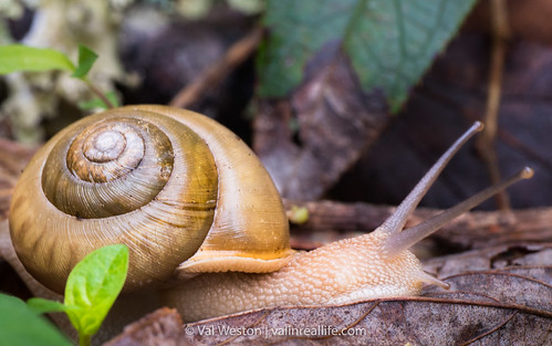 great smoky mountains snail - val in real life