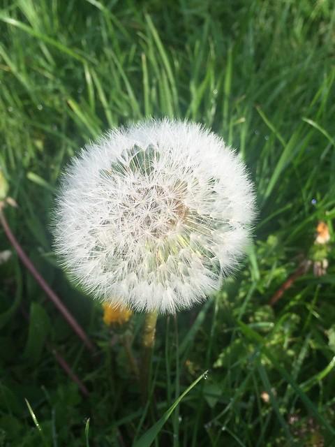 Mai17 - gartenblick - Pusteblume - Löwenzahn