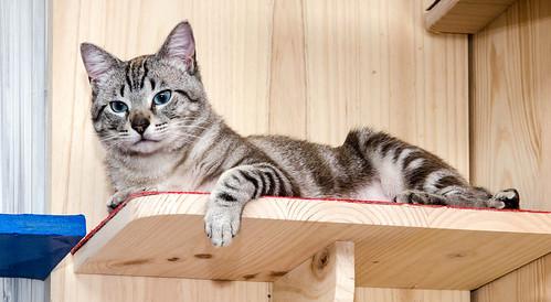 Tango, gato Siamés Tabby de colita corta esterilizado muy guapo, nacido en Enero´16, en adopción. Valencia. ADOPTADO. 34447530952_c9d1b9017d