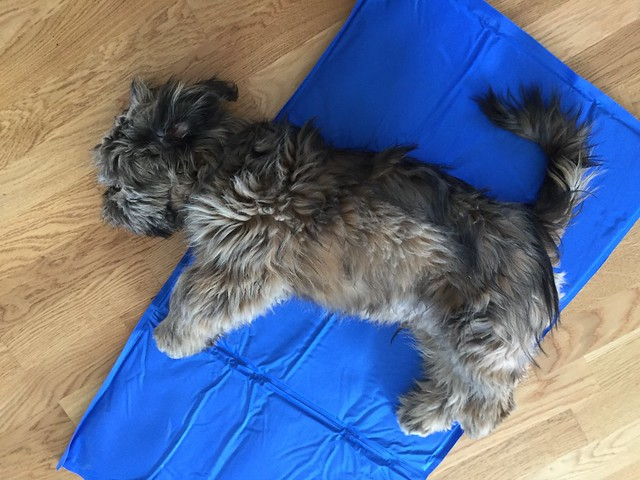 harry_thelhasaapso on his pet cool mat