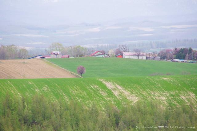 牧場のサクラ