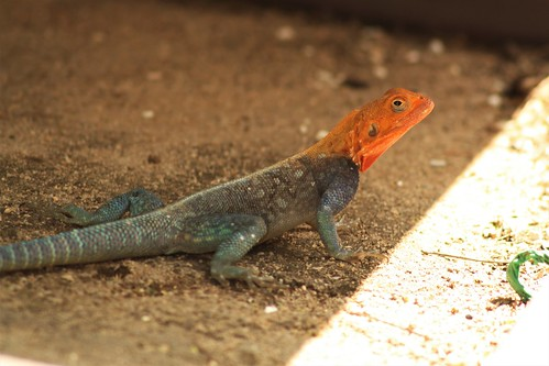 Red headed Rock Agama | by firefly041300