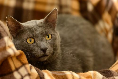 Gris, gato Cruce con Cartujo tímido y tranquilo positivo a inmunodeficiencia nacido en Agosto´15, en ADOPCIÓN ESPECIAL. Valencia. 34672163416_dfc82edec2