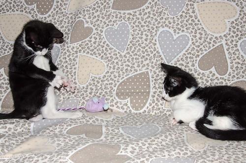 Cloud, gatito blanquinegro megadulce y guapo esterilizado, nacido en Enero´17, en adopción. Valencia. ADOPTADO. 34672266516_db384e3987