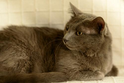 Gris, gato Cruce con Cartujo tímido y tranquilo positivo a inmunodeficiencia nacido en Agosto´15, en ADOPCIÓN ESPECIAL. Valencia. 34712341735_164c0fdb9b