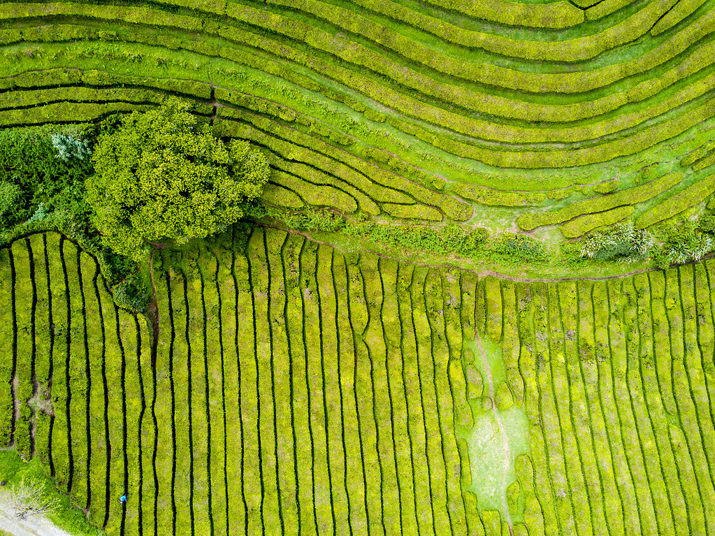 Tea Fields from Above - São Miguel, Azores