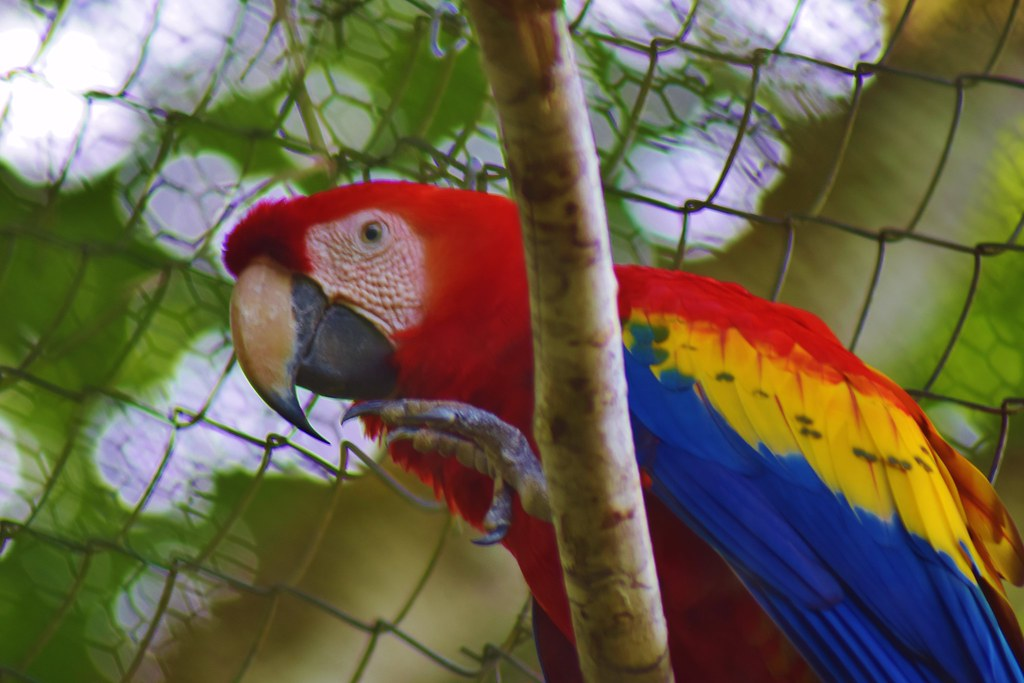 Belize Zoo - Macaw