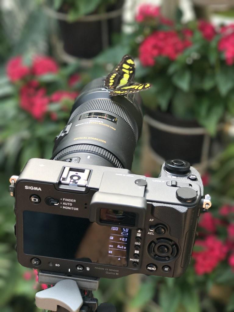 SD Quattro H + SIGMA 105MM F/2.8 MACRO EX DG OS HSM + Papillon :-))) 33631992564_b446884eaf_b