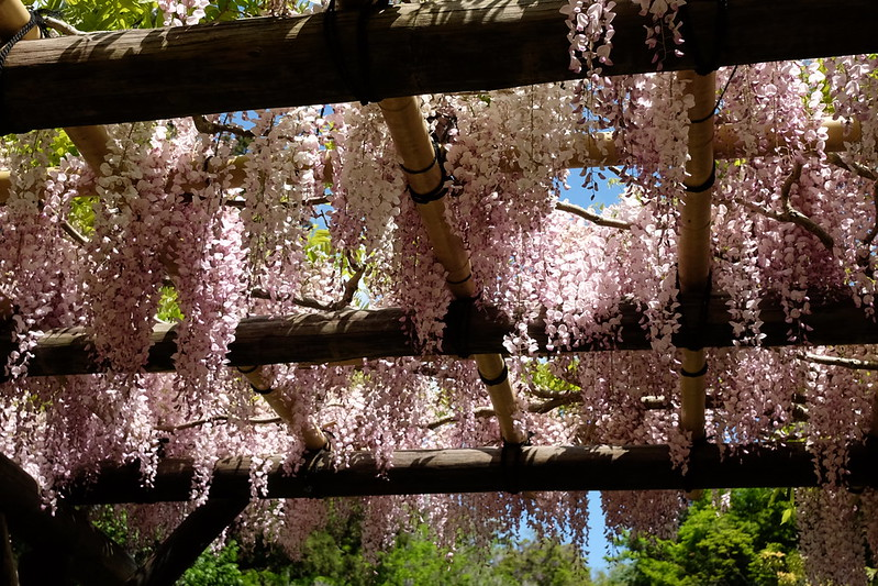 wisteria at Kasuga Shrine