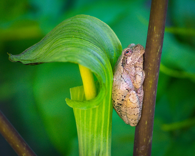 Frog, Tree Frog, Jack-in-the-Pulpit, Macro, Garden