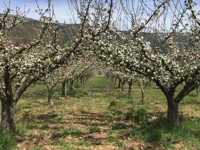 manzanos flor