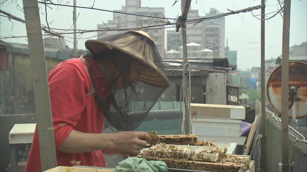 都市中的養蜂人,正仔細巡視著放養在頂樓的蜂群。