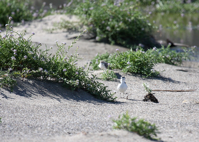 Western snowy plovers at Malibu Lagoon State Beach.