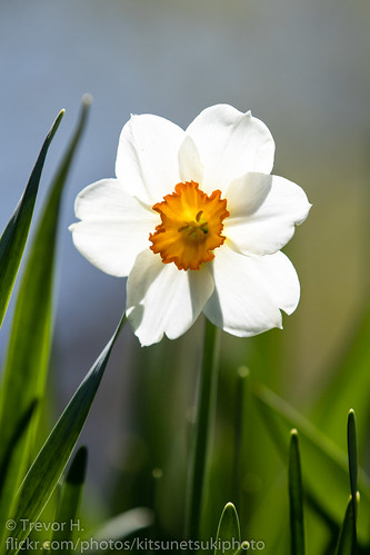 Narcissus 1 | by Kenjis9965