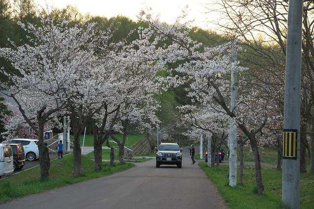 20170505東明公園の桜_01