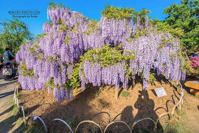 2017.May Ashikaga flower park@Tochigi足利紫藤