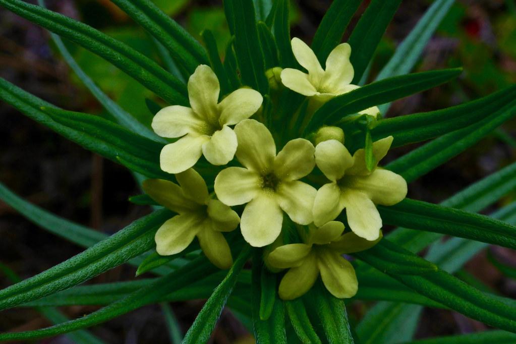 Lemonweed, Western Gromwell