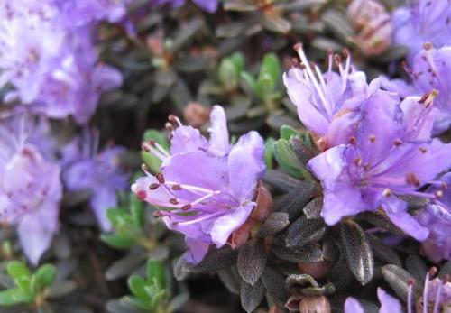 mini_rhododendron_macro_2010