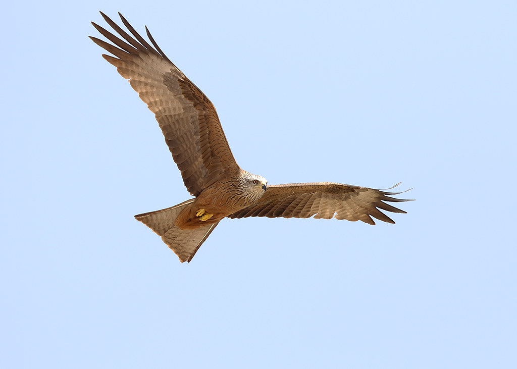 Black Kite   Milvus migrant