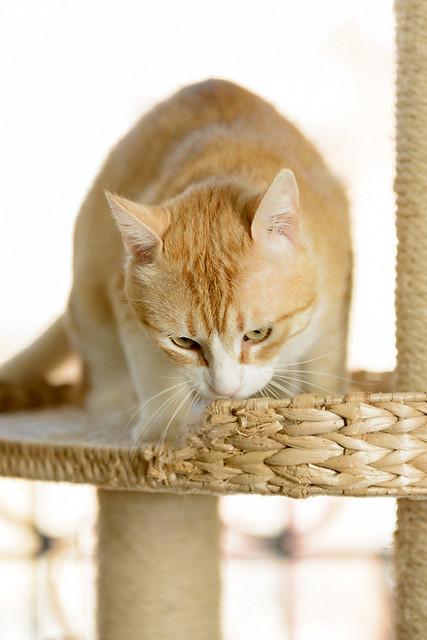 Robin, gato blanco y naranja guapo y súper dulce esterilizado, +inmunodeficiencia nacido en Marzo´15, en ADOPCIÓN ESPECIAL. Valencia. ADOPTADO. 34581631681_581c0385ff_z